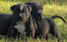 two adorable male and female pit bull puppies that need good homes.
