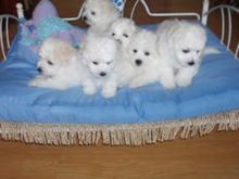 10 week old bichon frise puppies are now ready for sale. they are home and poty train lovely with