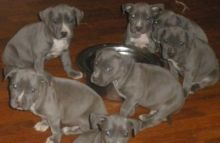 3 gorgeous Pure Breed American Pit Bull Terrier puppies available.