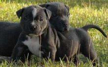 American Pit Bull Terrier American Pit Bull Terrier American Pit Bull Terrier