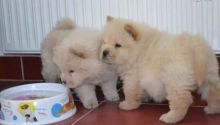 beautiful litter of 8 Chow Chow pups. They come with AKC registration papers