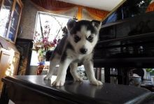 Cute Blue Eyes Siberian Husky Puppies Available Now