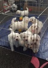 Glorious bichon frise puppies for good homes. -