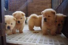Great Looking chow chow - 300.00 US$