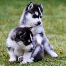 perfectly healthy 7 week old Siberian Husky puppies. He has a white and black coat with blue eyes