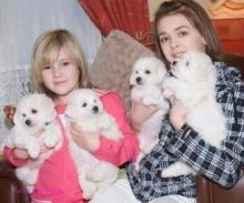 Queen of all bichon frise puppies for pretty and obedient kids. -