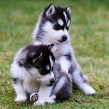 Beautiful Siberian husky puppies, male, female, black/white