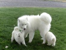 Samoyed Mid-Size Puppies for Sale in Westchester, New York