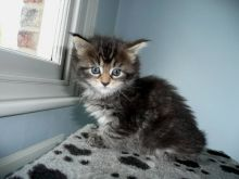 Healthy male and female maine coon kittens Seeking new homes Txt (608) 455-6977