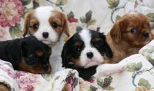 cavalier King Charles Puppies ready