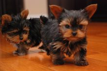 Teacup Yorkie / Yorkshire Terrier 10 wk F !!!.. Txt only via (302) 514-8078
