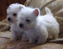 11 Weeks Old and West Highland Terrier Puppies.. Txt only via (302) 514-8078