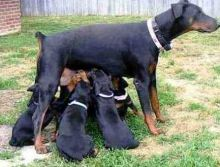 4 Doberman Pinscher Puppies Available I have 4 Doberman Pinscher puppies available.,. Txt only via (