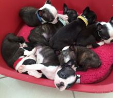 ADSFDG MALE AND FEMALE & OUBoston Terrier Puppies Boston Terrier Puppies Txt only via (901) 213-8747