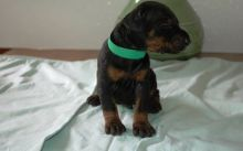 Doberman Pinscher Puppies Available for Adoption.,. Txt only via (901) 213-8747