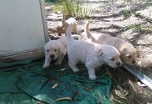 four gorgeous AKC registered Golden Retriever puppies available.