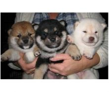 Gorgeous Quality Kennel Club registered Shiba Inu puppies. One male and one female black masked pale