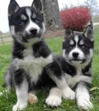 Husky Puppies I have a litter of AKC Siberian Husky puppies,