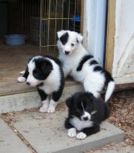 Pure Border Collie puppies Available We have two dogs we need to re-home.. Txt only via(530) 522-811