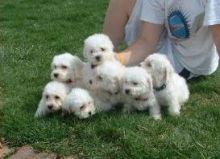 SDAFSDGF Bichon Frise Pup socialized . Txt only via (302) 514-8078