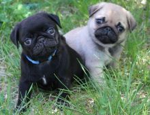 Absolutely pug Puppies Available These two purebred pug puppies have very unique marking and great