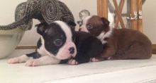 AKC registered black, brindle & white Boston Terrier puppies Txt only via (901) 213-8747