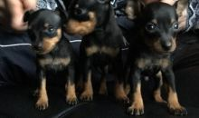 asdsfdg Doberman Puppies male and female ready for new home ..,