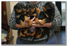 Beautiful Black and Brown Rottweiler puppies male and females in need of good homes.