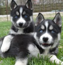 beautiful litter of Siberian husky puppies. Only three puppies left well socialized with other dogs