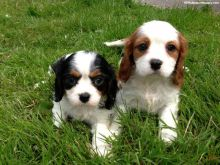 Cavalier King Charles Puppies - Cavaliers are the perfect family dog!Txt only via (786) 322-6546