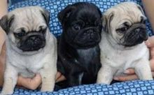 Fawn and Black Pug Puppies With Health Guarantee Txt only via (786) 322-6546