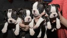 Gorgeous litter of blue Boston Terrier puppies We have 7 beautiful pups! (4 girls, 3 boys.)