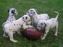 lovely AKC registered Dalmatian pups for a caring home, Txt only via (530) 522-8115