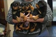 Marvelous and brave Rottweiler for adoption.