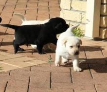 offering two Labrador puppies.
