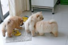 potty and house trained Chow Chow puppies. They have all received their vaccines.