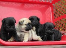 Wonderful Looking pug Puppies. Txt only via (302) 514-8078