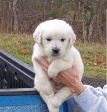 temperate golden retriever puppies (701) 446-8046