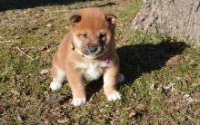 unparalleled shiba inu puppies (701) 446-8046