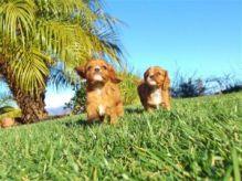 Gorgeous Cavalier King Charles Spaniel for Adoption/v.e.r.onicaaz.er1@gmail.com