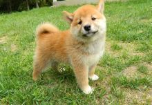 Affectionate Shiba Inu puppies for new home (218) 303-5958