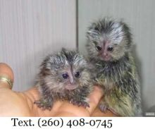 Marmoset Monkeys 4 Adoption text (260) 408-0745 for details of the monkey