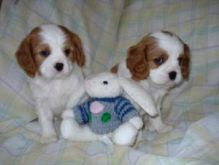 adolecent King Charles Spaniel for adoption./br.e.nda.sweet6@gmail.com