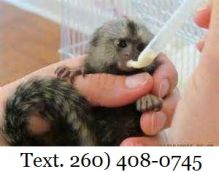 Marmoset Monkeys Male&Female for Sale text (260) 408-0745
