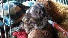 Marmoset Monkeys Image eClassifieds4U