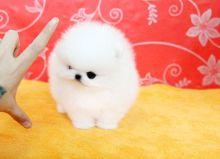 Adorable cream white Pomeranian puppy/bre.n.daswee.t.6@gmail.com