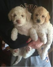 Two lovely Standard Goldendoodle Puppies for free adoption juanachristi@gmail.com