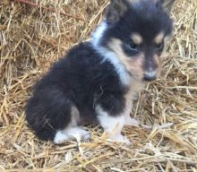 ADORABLE MALE AND FEMALE BORDER COLLIE FOR ADOPTION Text Us Now At (916 932-9270)