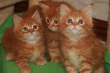 Pure Breed Maine Coon Kittens Txt (608) 455-6977