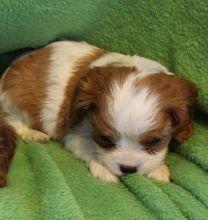 cavalier puppies for adoption.